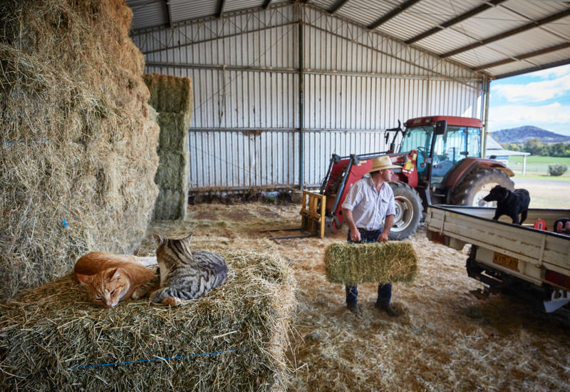 """Limestone Park"", Loomberah: Farm cats, Mick (orange) and Chester sleep on the hay, as Bryce McMurtrie loads small hay bales."